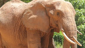 Two elephants. Closeup of two elephants, one is flapping ears and moving trunk stock video