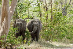 Two elephants coming out of the Jungle Royalty Free Stock Photos