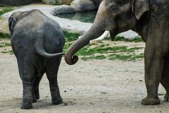 Two elephants in contact Stock Image