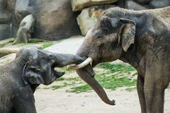 Two elephants in contact Stock Images