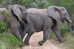 Two elephants crossing sandy road Royalty Free Stock Image