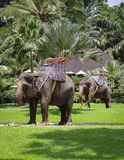 Two Elephants Dressed for a Day of Work Stock Images