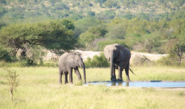 Two elephants drinking at water hole Stock Photos