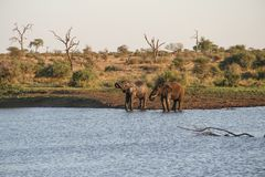 Two elephants drinking at a water hole, Kruger National Park, South Africa. Two elephants drinking at a water hole, seen in the Kruger National Park, South royalty free stock photos