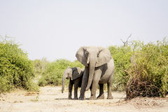 Two Elephants in the Dry Heat Royalty Free Stock Photo