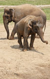 Two elephants in the dust. Royalty Free Stock Image