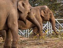 Two elephants eating Stock Photography