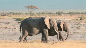 Two elephants eating grass in Amboseli Park stock footage