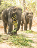 Two Elephants eating  grass(Elephas maximus indicus) Stock Images