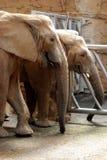Two Elephants Eating Hay Royalty Free Stock Photo