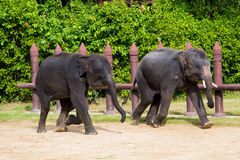 The two elephants. Stock Photography