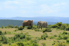Two elephants facing each other Royalty Free Stock Images