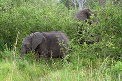 Two Elephants at fed Stock Photos