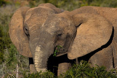 Two elephants feeding together Royalty Free Stock Photo