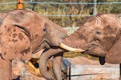 Two elephants fighting Royalty Free Stock Photo
