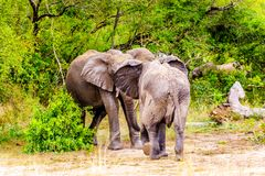 Two Elephants fighting at Olifantdrinkgat, a watering hole near Skukuza Rest Camp, in Kruger National Park Stock Photography