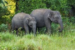 Two Elephants in a forest. Two elephants at Minneriya National Park, Sri Lanka stock photos