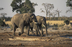 Two elephants going to drink, Botswana. African elephants (Loxodonta africana) at Savuti, Chobe National Park, Botswana Royalty Free Stock Image
