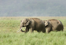 Two elephants in the grassland Royalty Free Stock Photo