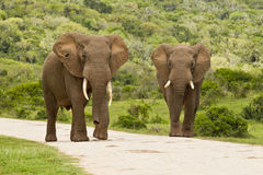 Two elephants on a gravel road Royalty Free Stock Photos