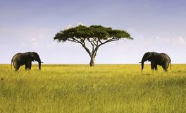 Two Elephants Isolated Acacia Tree African Savannah Serengeti Tanzania. Elephants Pair Facing Single Isolated Acacia Tree in Serengeti National Park, a Unesco royalty free stock photos