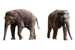 Two elephants isolated with clipping path Stock Photo