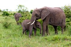 Two Elephants in Kenya Royalty Free Stock Photo