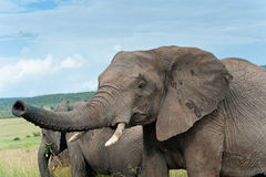 Two elephants, Kenya Royalty Free Stock Images