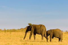 Two elephants in Masai Mara Royalty Free Stock Image