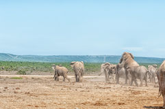 Two elephants mating Stock Photography