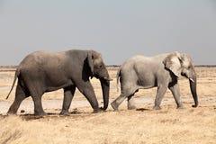 Two elephants namibia. Two elephants walking, namibia national park Stock Images