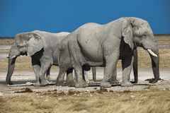 Two elephants namibia. Two elephants adult and young namibia Royalty Free Stock Photos