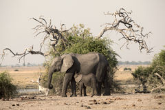 Two elephants namibia. Two elephants old and young namibia Royalty Free Stock Image