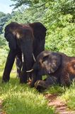 Two elephants one standing one laying down Royalty Free Stock Image