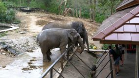 Two elephants in the pen in Khao Kheow Open Zoo. Thailand. Si RACHA, THAILAND, JANUARY 11, 2018: Two elephants in the pen in Khao Kheow Open Zoo. Thailand stock footage