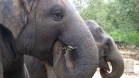 Two elephants in the pen in Khao Kheow Open Zoo. Thailand. Two elephants in the pen in Zoo. Thailand. Close-up stock footage