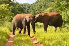 Two elephants play fighting Stock Photos