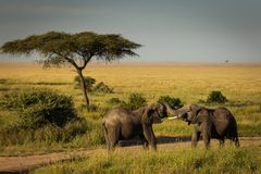 Two elephants playing near some acacia trees in National Park of. Serengeti, Tanzania stock images