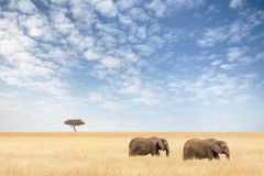 Two elephants walking in the Masai Mara Royalty Free Stock Photo