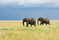 Two elephants running in savannah Stock Images