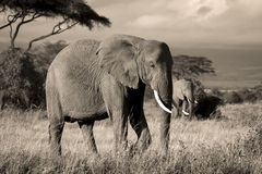 Two elephants in savanna in sepia Stock Image