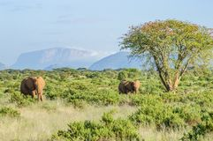 Two elephants in the savannah. Of Samburu Park in central Kenya with an acacia and mountains in the background of photo stock photography