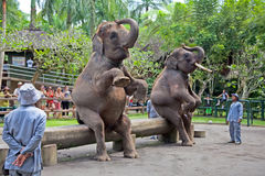 Two elephants show, Bali, Indonesia Stock Photo