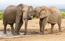 Two elephants showing some affection while at a water hole Stock Photography