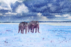 Two elephants in a snowfall Stock Images