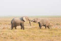 Two elephants stand face to face Stock Photos