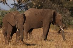 Two Elephants Standing On Brown Grass Field stock images