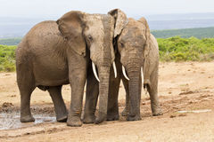 Two elephants standing rubbing against each other Stock Photos