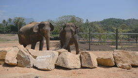Two elephants standing at the zoo. Slow motion Close up stock video footage