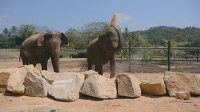 Two elephants standing at the zoo and sprinkles sand itself. Beautiful elephants sprays sand from his trunk. Slow motion. Close up stock video footage